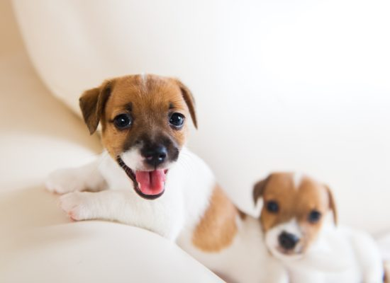 Two cute puppies playing on a white sofa