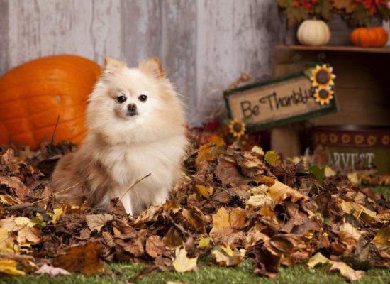 Fall Pomeranian